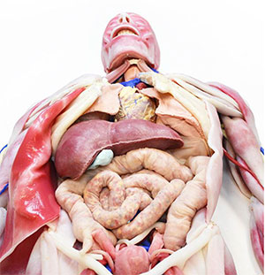 SynDaver Anatomy Model Image